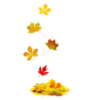 Autumn leaves fall onto a heap of autumnal foliage isolated on white background.