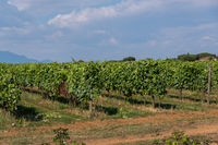 Agriculture landscape of grape fields.