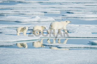 Polar bear, northern arctic predator