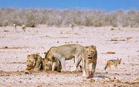 lions, Etosha National Park, Namibia, (Panthera leo)