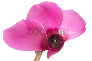 Macro pink cyclamen flowers. Cyclame isolated on white background.