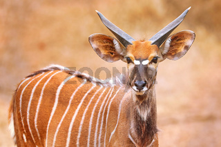 Junges Nyala, männlich, Majete Wildlife Reserve, Malawi, (Equus quagga) | young Nyala, male, Majete Wildlife Reserve, Malawi, (Nyala angasi)