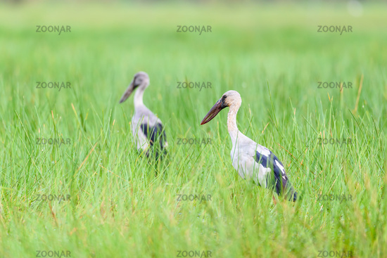 Two birds that are in pair of Asian Openbill in the meadow