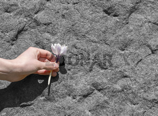hand holding a plucked flower in front of a granite background