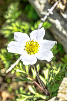 Great anemone