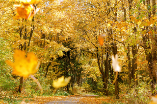 forest path between yellowed trees, autumn forest