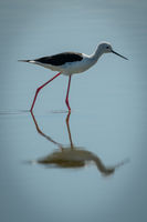 Black-winged stilt in sunshine steps through shallows
