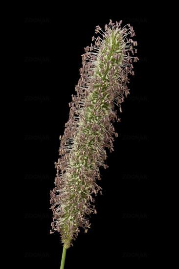 Meadow timothy (Phleum pratense)