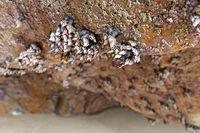 Goose barnacles (Pedunculata) in a sea grotto at the Atlantic Ocean, France