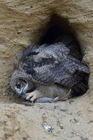 Eurasian Eagle Owl * Bubo bubo *, young chick, feeding on prey ( nutria )