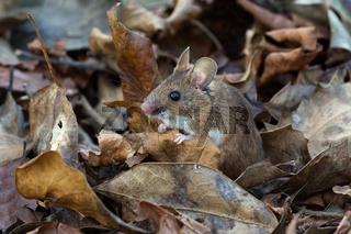 Holz-Maus (Apodemus sylvaticus)