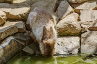Rabbit drinks water