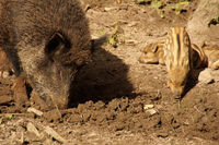 Boars in a clearing in the forest - The brook ruffles the ground with its muzzle