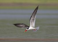 Skimmer in flight, Tern-like birds, Laridae family, Chambal river, Rajasthan, India