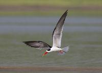Skimmer in flight, Tern-like birds, Laridae family, Chambal river, Rajasthan, India