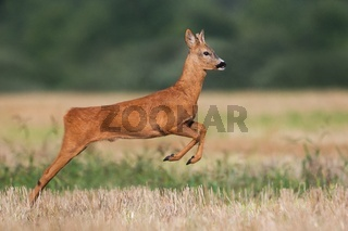 Roe deer buck running on a harvest field in summer