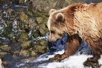 Brown bear standing in the water