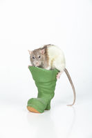 Rat And Boot