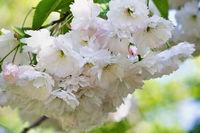 sakura branch with white flowers closeup
