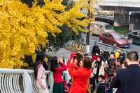 People taking photos of yellow leaves on gingko trees in Chengdu
