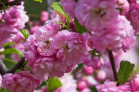 flowering bush of pink almond closeup