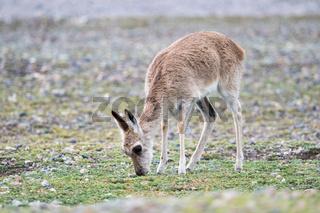 females tibetan gazelle closeup