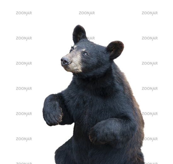 Young black bear sitting on white background