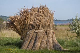 Schilfgarben am Zicke See