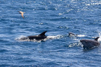 Bottle-nosed Dolphins and Gull near Sao Miguel, Azores