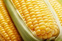 Ripe fresh organic sweet corncob with leaf closeup background