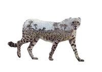 Double exposure of walking cheetah