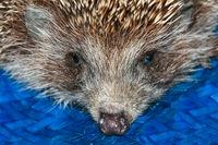 Hedgehog close up, face of a hedgehog.