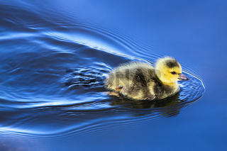 A baby gosling swims in mirror blue water
