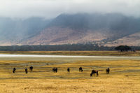 herd of wildebeests in Ngorongoro crater