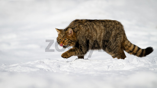 European wildcat male grooming himself in the snow