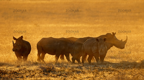 Group of white rhinoceros (Ceratotherium simum) in dust at sunset