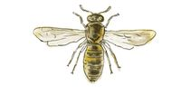 Spanish Pollen Wasp  Drawing