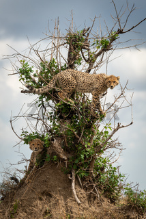 Cheetah cub standing in bush above another