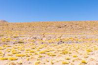 Cile Atacama desert guanacos in nature in the morning