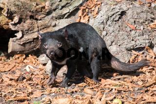 Tasmanischer Teufel, Sarcophilus harrisii