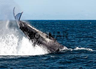 Whales migrating off the coast of Sydney Australia