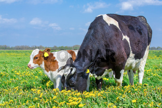 Mother cow and calf together in dandelions meadow