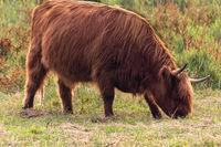 Scottish highland cattle grazing