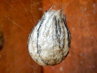 Wasp Spider Egg Sac