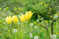 Flowers yellow tulips