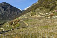 Vineyards in spring, Branson, Valais, Switzerland