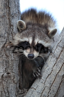 raccoon sits in branch fork, Bosque del Apache, New Mexico,USA