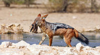 black-backed jackal with his prey, Kgalagadi Transfrontier National Park, South Africa, (Canis mesom