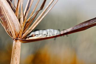 small masked frog on reed, Maroantsetra, Madagascar wildlife