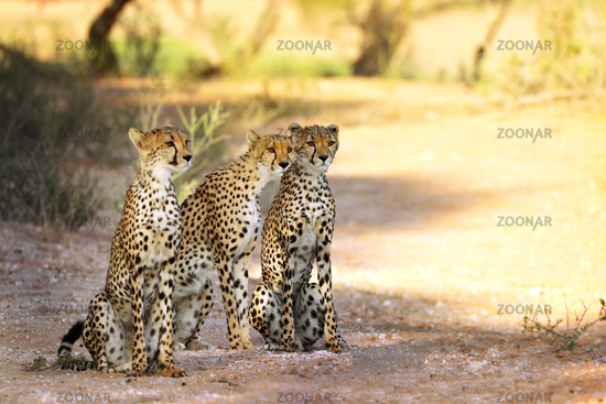 three Cheetah, Kgalagadi Transfrontier National Park, South Africa, (Acinonyx jubatus)